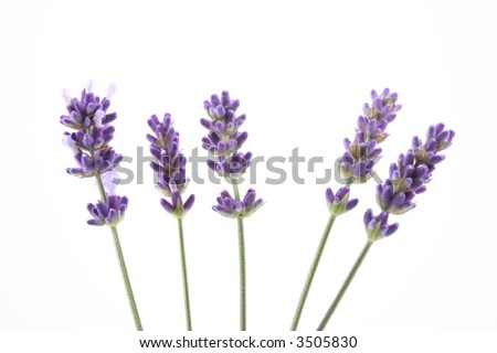 five lavender flowers isolated on white