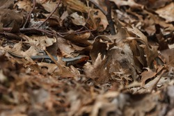 Five lined skink foraging in dry leaves on the forest floor.
