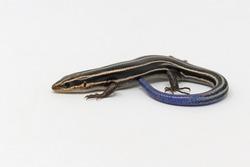 Five-lined Skink Lizard (Plestiodon fasciatus)