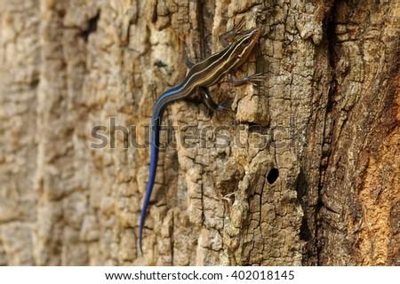 Five-Lined Skink (Plestiodon fasciatus) on Tree