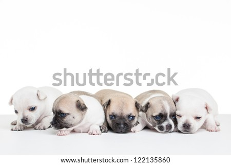 Five little chihuahua puppies on a blank white table.