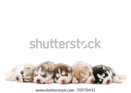 five little cute sleeping puppy of Siberian husky dog isolated