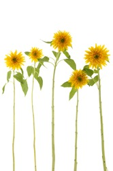 Five long stem sunflower on white