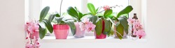 Five lovely pink lilac blooming orchids are arranged in a row on a white window sill in solid flower pots against a white wall and white window. Gorgeous green leaves. Horizontal panorama format.