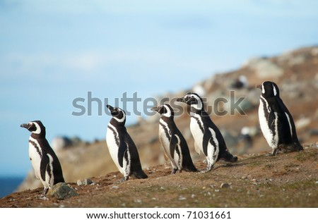 Five magellanic penguins on the sea shore