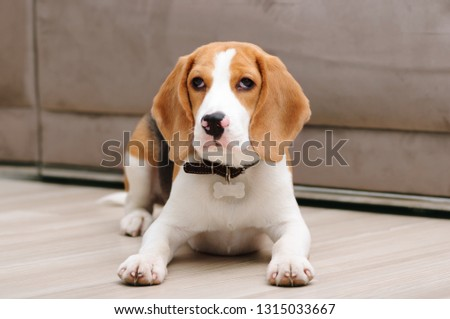 Five month old beagle puppy lying on the floor inside house #1315033667