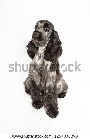 five month old english cocker spaniel puppy isolated on a white background Zdjęcia stock ©