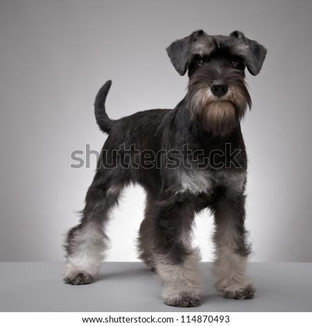 five month old miniature schnauzer puppy - stock photo