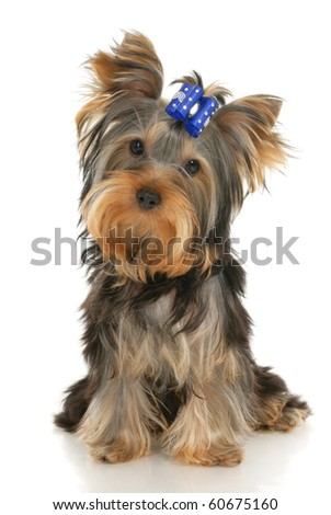 five-month puppy Yorkshire Terrier