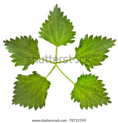 five  nettle leaves isolated