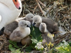 Five newly hatched mute swan cygnets in the nest as two other eggs wait to hatch.