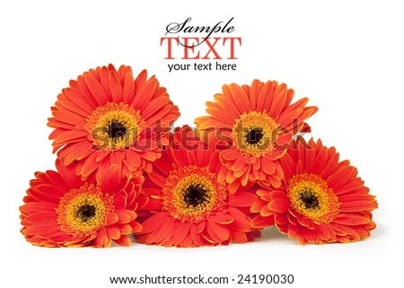 Five orange and yellow gerber daisies stacked, isolated on white with clipping path and sample text