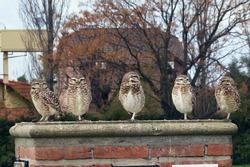 Five owls on a column of bricks on an autumn day. Beautiful birds.