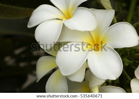 Plumeria flower blooming is very aromatic ez canvas mightylinksfo