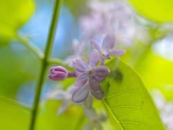 Five-petalled purple lilac flower close up