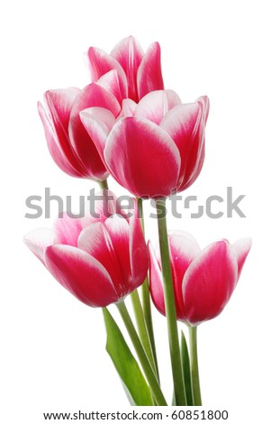 Five pink tulips on a white background. Clipping path