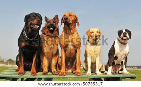 five purebred big dog sitting in a day of spring stock photo 50735317 shutterstock. Black Bedroom Furniture Sets. Home Design Ideas