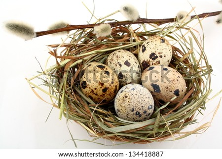 Five quail eggs in nest with willow branch, close up