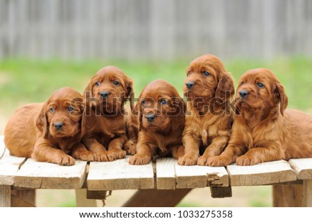 Five red setter puppies lie on wooden table, outdoors, horizontal #1033275358