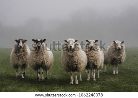 Five sheep in a field on a misty morning in Dorset.