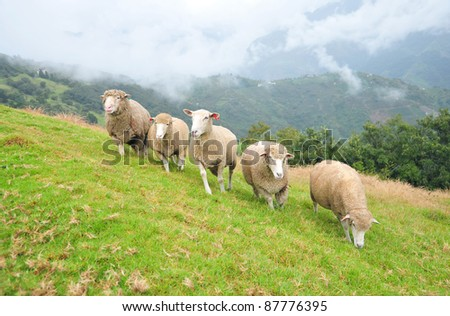 Five sheep running together on a mountain slope at Chinjing Veterans Farm, Taiwan