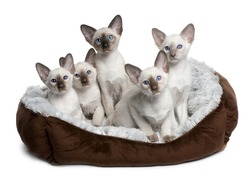 Five Siamese Kittens, 10 weeks old, sitting in cat bed in front of white background