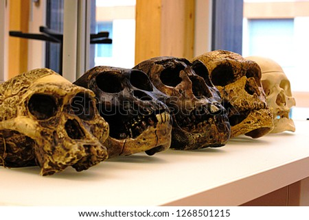 Five skulls of human ancestors. From left to right: A. africanus, A. afarensis, H. erectus, H. neanderthalensis and H. sapiens sapiens. Skull replica in a biological laboratory.
