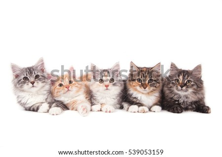 five small siberian  kittens on ...