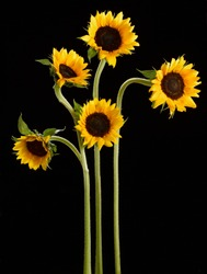 Five sunflowers on black background