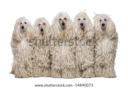 Quel chien me conviendrait-il ? - Page 3 Stock-photo-five-white-corded-standard-poodles-sitting-in-front-of-white-background-54840073