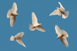 Five white pigeons fly in the clear sky