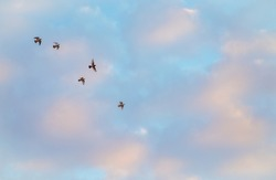 Five  wild pigeons flying in the sky