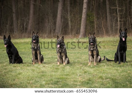 Five working line German shepherds sitting in line Foto stock ©