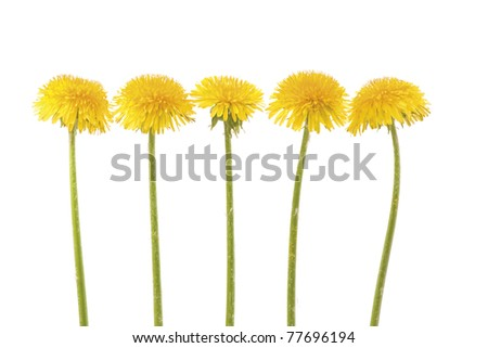 Five yellow dandelion in a row on white background. Horizontal composition.