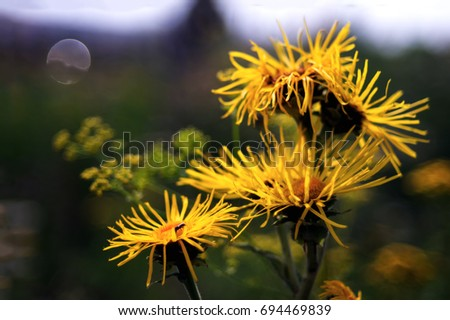 Free photos yellow wild flower with five petals isolated on black five yellow flowers on a green background yellow chamomile insect on the yellow flowers mightylinksfo