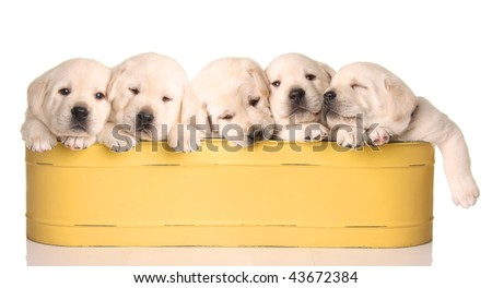 Five yellow lab puppies in a yellow container