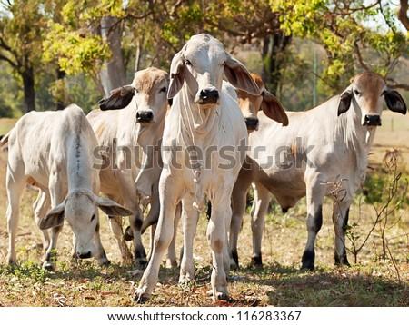 Five young Brahman cows in herd on rural ranch Australian beef cattle