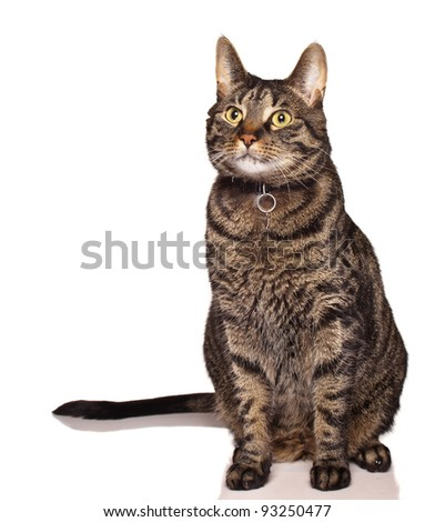 Fixed male tabby cat on white