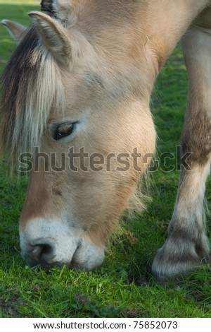Fjord horse grazing