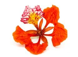 Flam-boyant flower isolated on white background