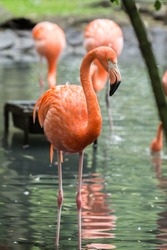 flamand rose - flamingo