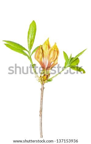 flame azalea  calendulaceum ...