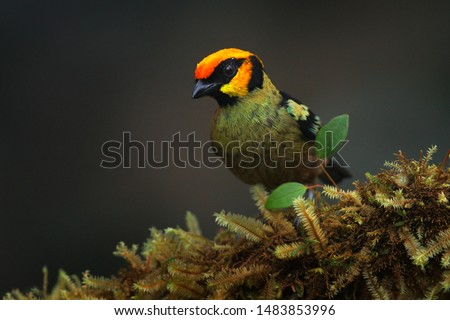 Flame-faced tanager, Tangara parzudakii, sitting on beautiful mossy branch. Bird from Mindo, Ecuador. Birdwatching in South America. Animal in the green forest.