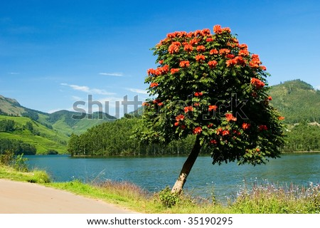 Flame of the forest blooming on the shores of Maddupatti lake, Munnar India