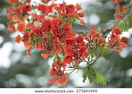 Flame Tree flower Royal Poinciana Foto stock ©