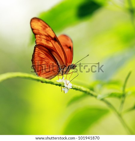 Flame tropical butterfly