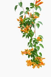 Flame vine (Pyrostegia venusta) or orange trumpet vine , liana plant with green leaves and vibrant color flowers isolated on white background, clipping path included.