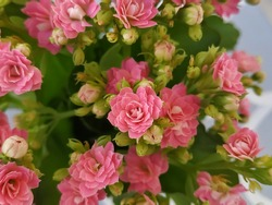 Flaming katy: a species of Widow's-thrill, also known as Florist kalanchoe, Christmas kalanchoe, Madagascar widow's-thrill, it's botanical name is Kalanchoe blossfeldiana.