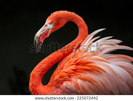 Stock Photo flamingo