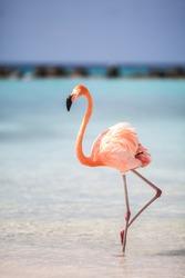 Flamingo at the flamingo beach, Aruba